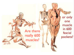 anatomy trains muscle model