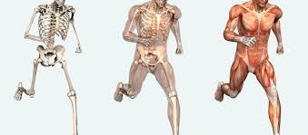 skelet muskel fascia