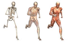 body skeletal - muscular