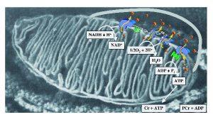 elektrontransporterkaeden-mitochondrie